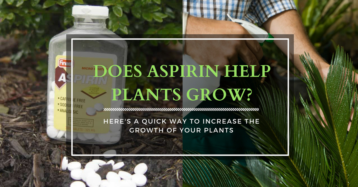 Does Aspirin Help Plants Grow? Here's a Quick Way to Increase The Growth of Your Plants