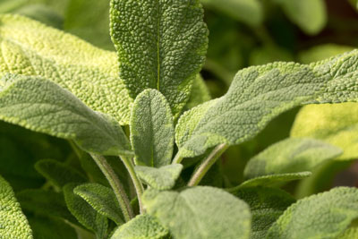 What Does Sage Smell Like? Who Else Wants To Know More About Sage