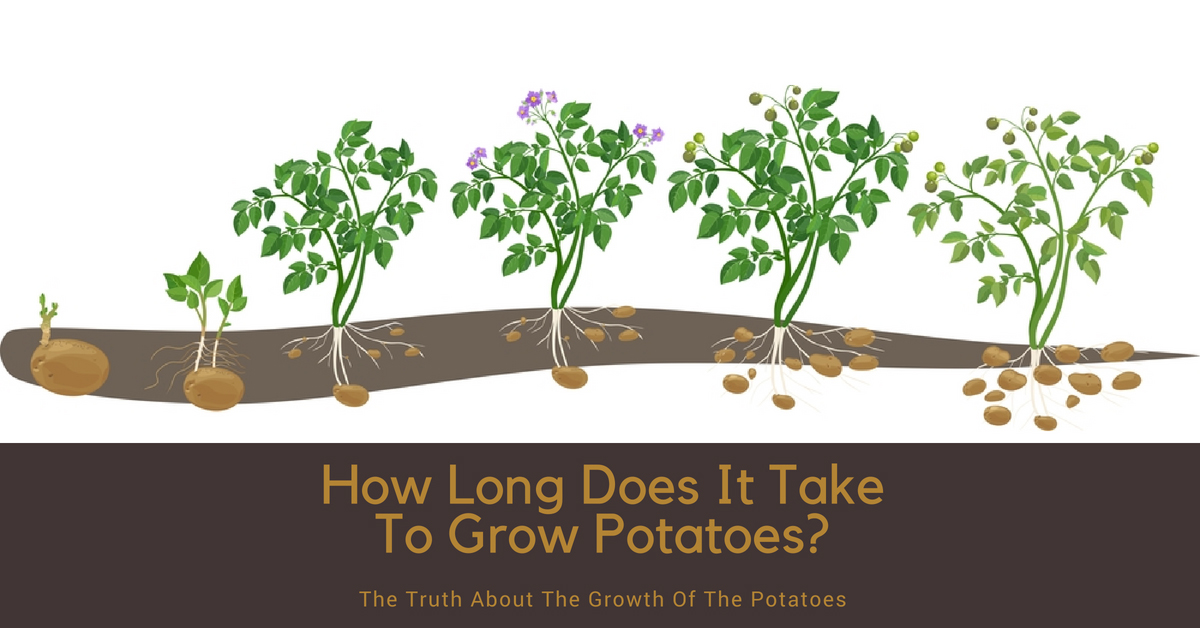 How Long Does It Take To Grow Potatoes? The Truth About The Growth Of Potatoes