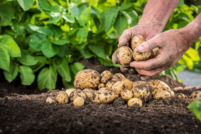 When Should Potatoes Be Harvested