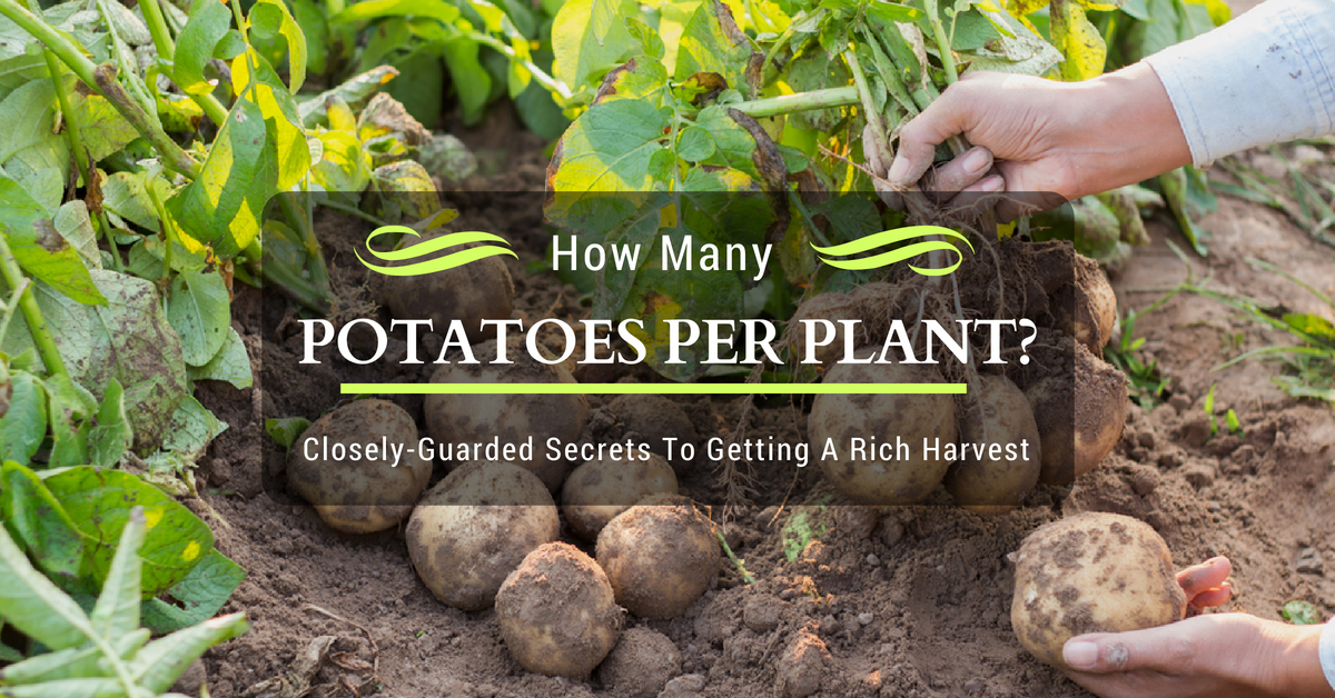 How Many Potatoes Per Plant? Closely-Guarded Secrets To Getting A Rich Harvest