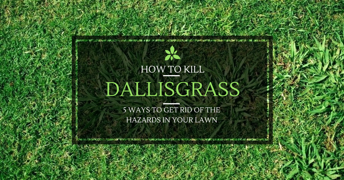 how to kill dallisgrass