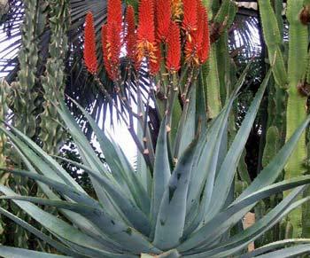 Aloe X Principis