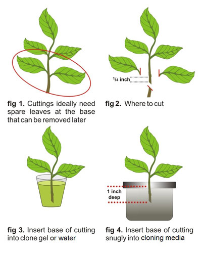 How To Clone Plants