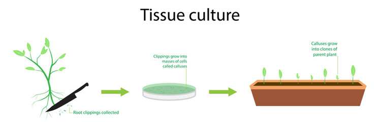 Tissue Culture Cloning Method