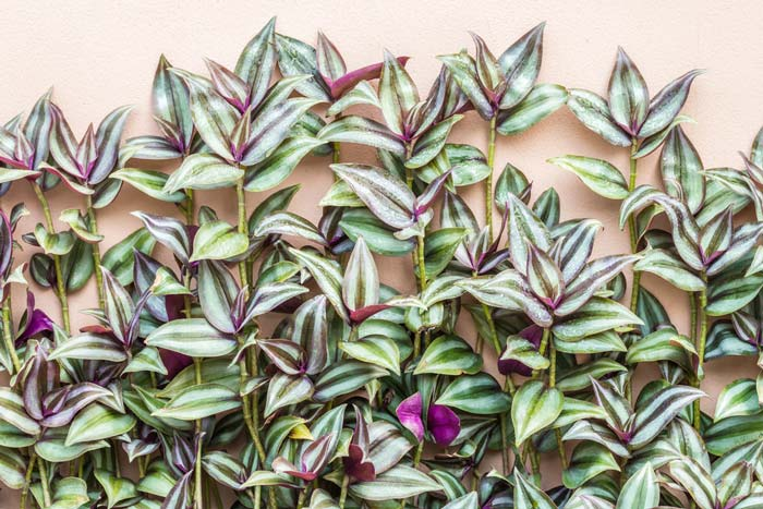 Types of Wandering Jew Plants