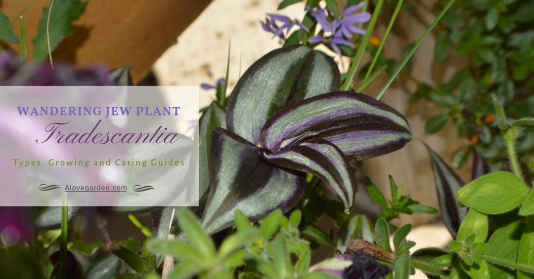Wandering Jew Plant Tradescantia: Types, Growing and Caring Guides