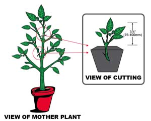 how to clone a plant
