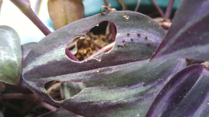 wandering jew plant problems