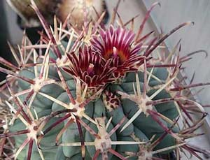 Anstricocactus uncinatus