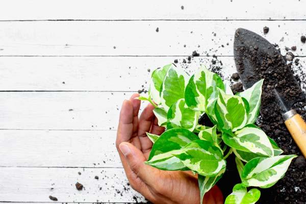 How to Grow Epipremnum Aureum