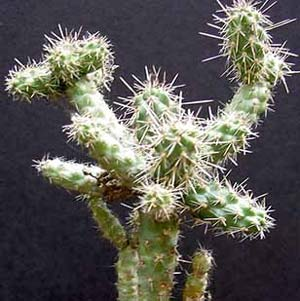 Shafer's Opuntia
