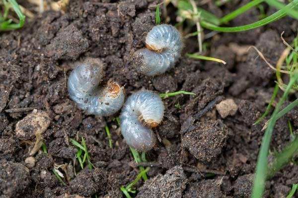 How Do You Know If There Are Grubs