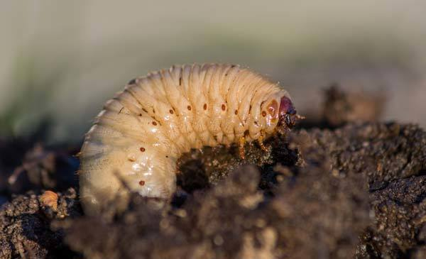 Where Do Grubs Come From