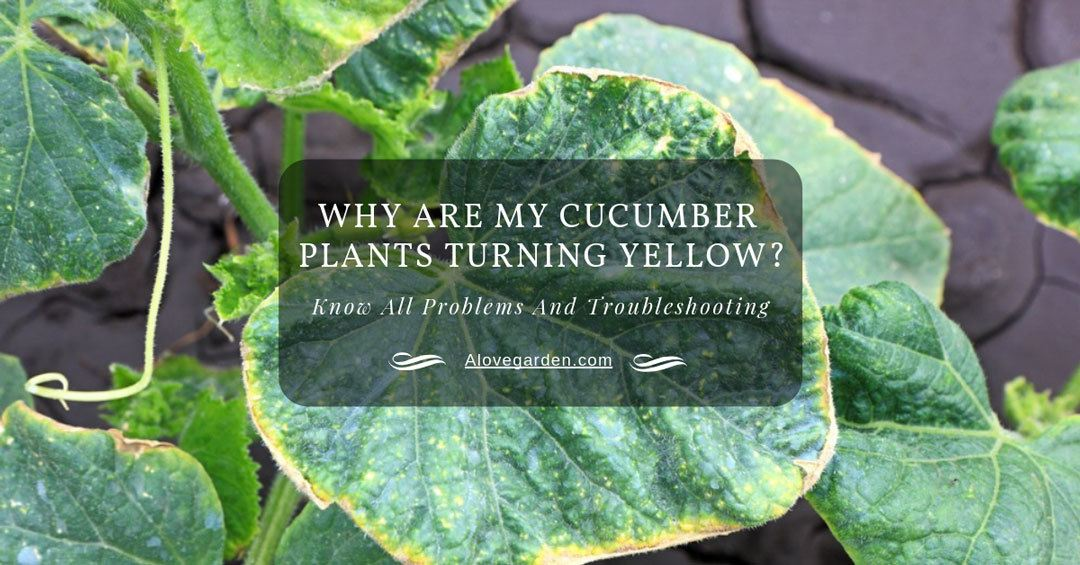 cucumber plants turning yellow