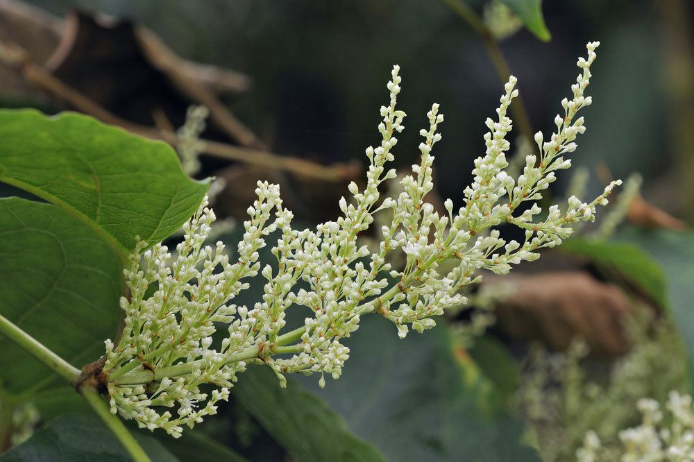 what is japanese knotweed